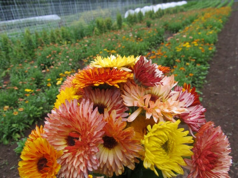 Flashback calendulas at Hudson Valley Seed Library