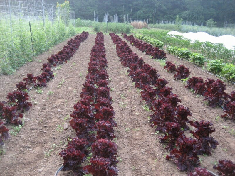 'Merlot' lettuce in the field at Hudson Valley Seed Library