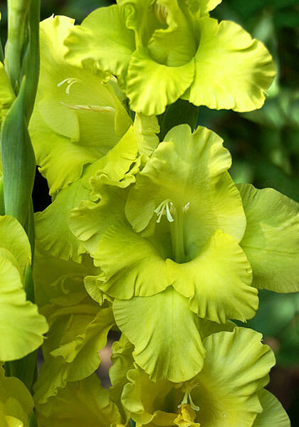 Gree Lace gladiolus from Old Hosue Gardens
