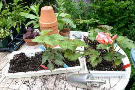 Potting up tuberous begonias at Gardenimport