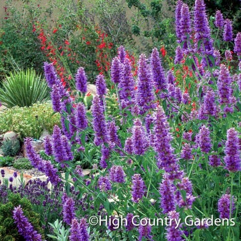 Agastache 'Blue Blazes' from High Country Gardens