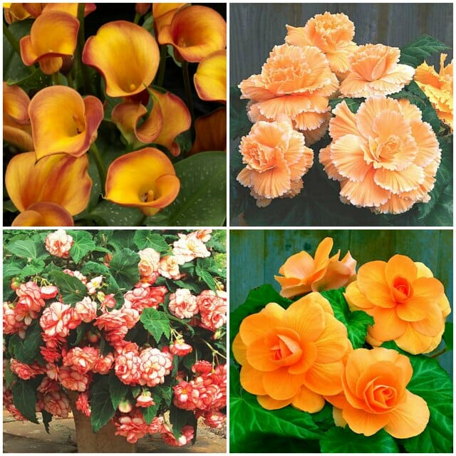 Begonias and canna at Gardenimport