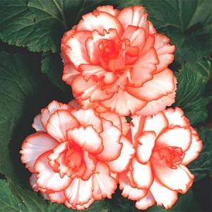 Calypso tuberous begonia at Gardenimport