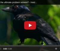 crow video from BBC TWO