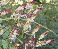ipomoea lobata, fan dancer of an annual vine