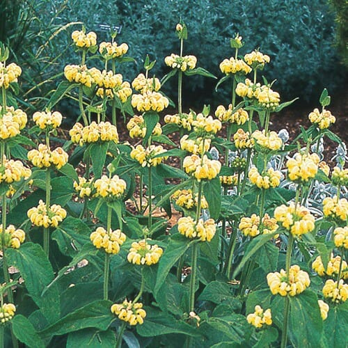 Phlomis russeliana at High Country Gardens