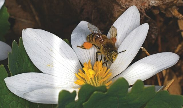 Fig. 16_Sanguinaria_canadensis_bee_UCh