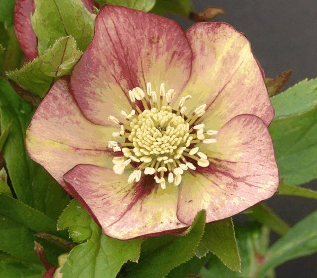 Rhubarb and Cream hellebore, Pine Knot