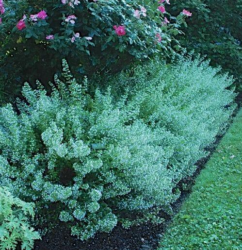 Calamintha at Avant Gardens