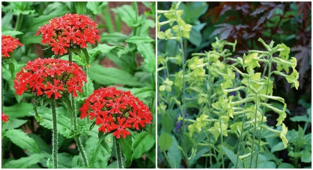 maltese cross, lime nicotiana