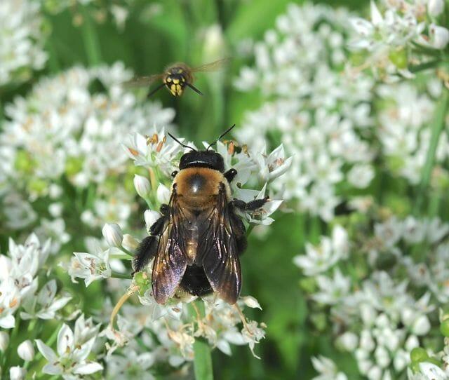 pollinators on garlic chives