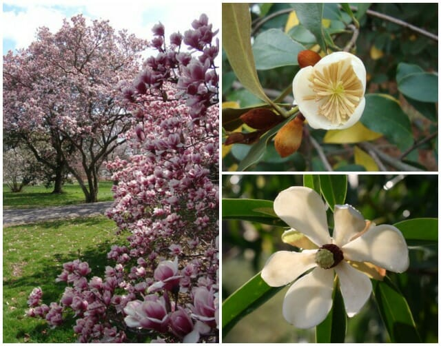 Swarthmore soulangeana magnolias, plus yuyuanensis and laevifolia