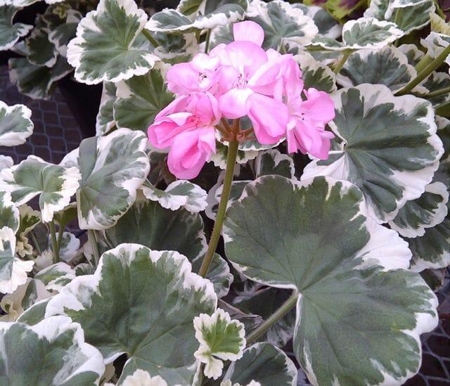 Mrs. Peters geranium Shady Hill