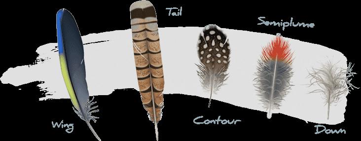 feathers, Copyright Cornell Lab of Ornithology