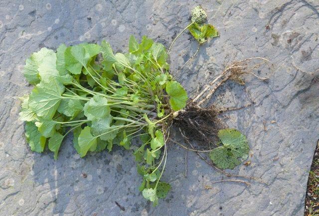 garlic mustard uprooted