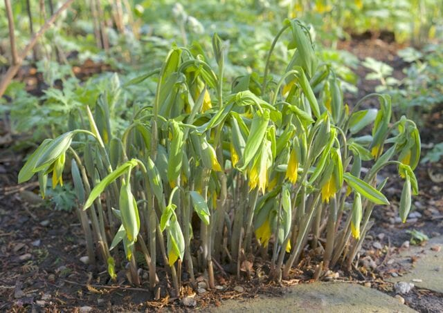 uvularia grandiflora emerging