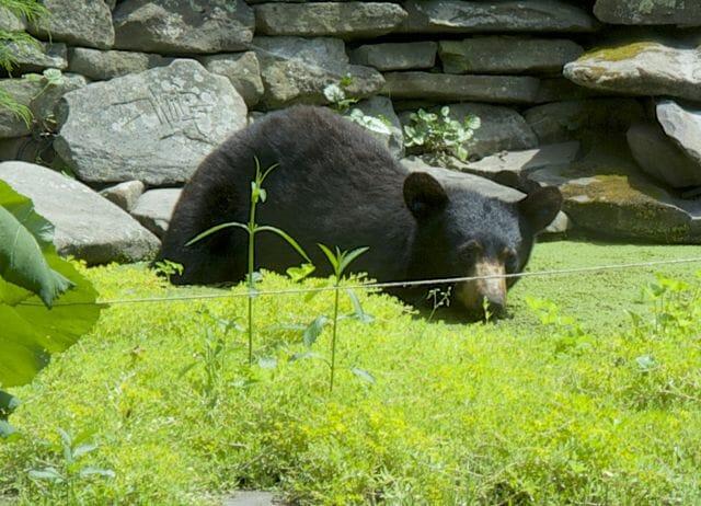 bear closeup in pool