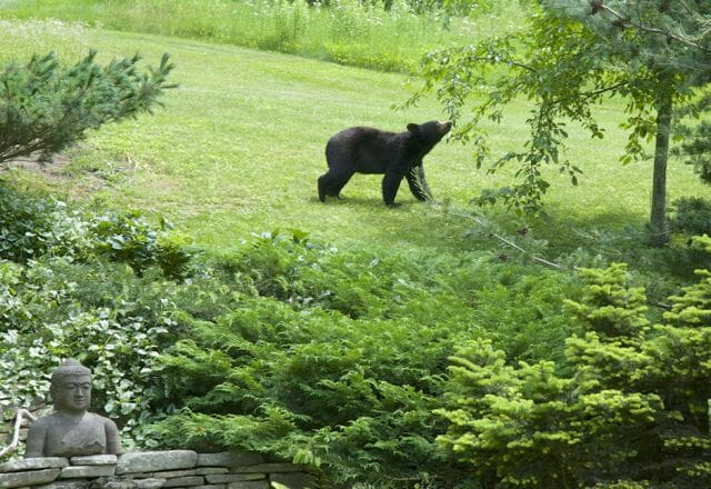 bear eating crabapple
