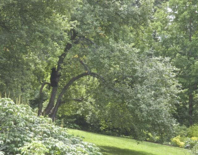 bear halfway down apple tree