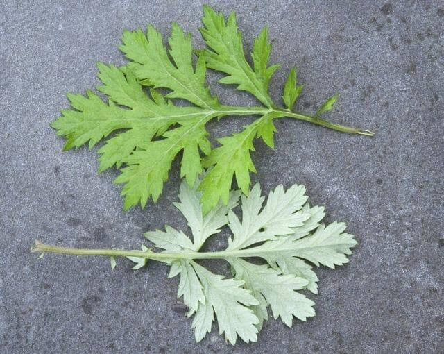 lower leaves mugwort