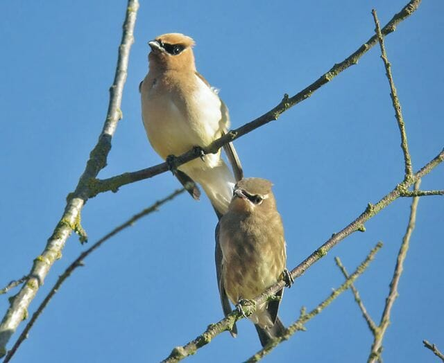 adult & juvenile Cedar Waxwings © Mike Hamilton