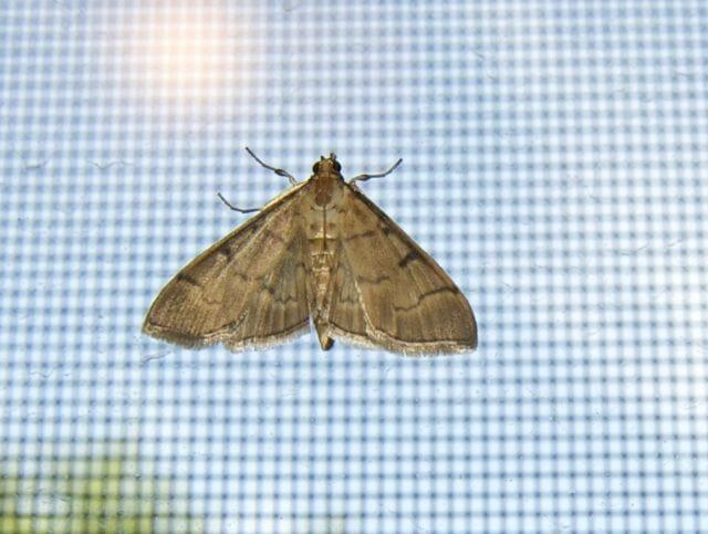 ostrich fern moth 1