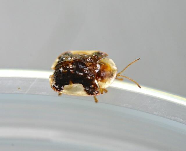 clavate tortoise beetle