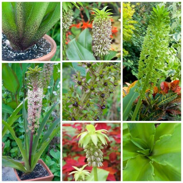 eucomis pineapple lilies