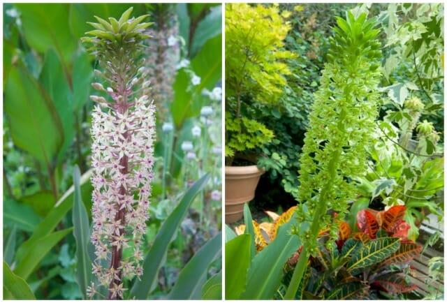 pineapple lily john treasure and giant eucomis