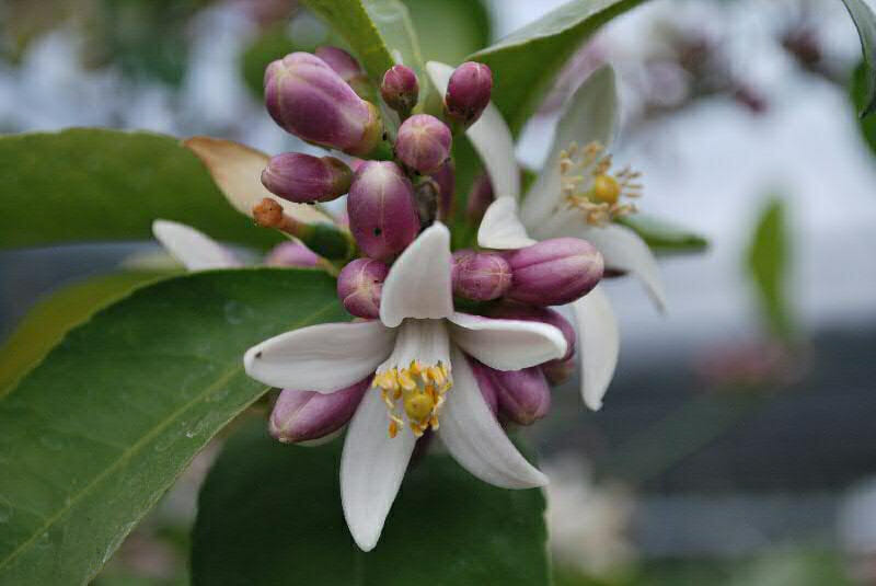 Meyer lemon blooms from Four Winds Growers