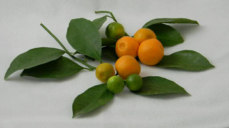 calamondin fruit by Four WInds Growers