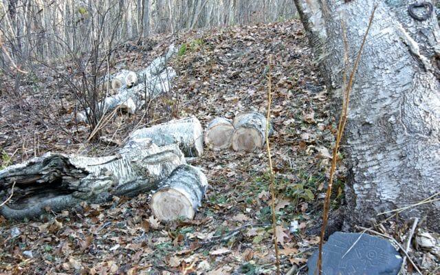 birch trunk on ground