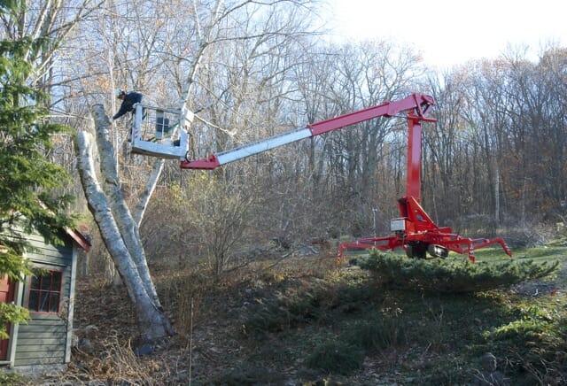 removal of birch 2