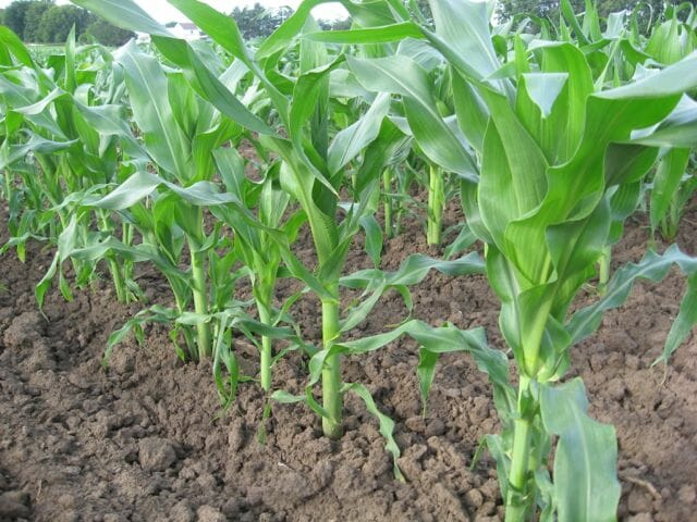 A New Corn Bred For Organic Farms And Gardens Tells A
