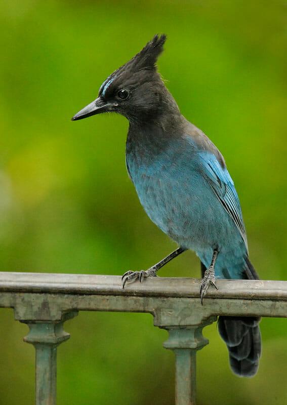 Steller's Jay © Tom Grey