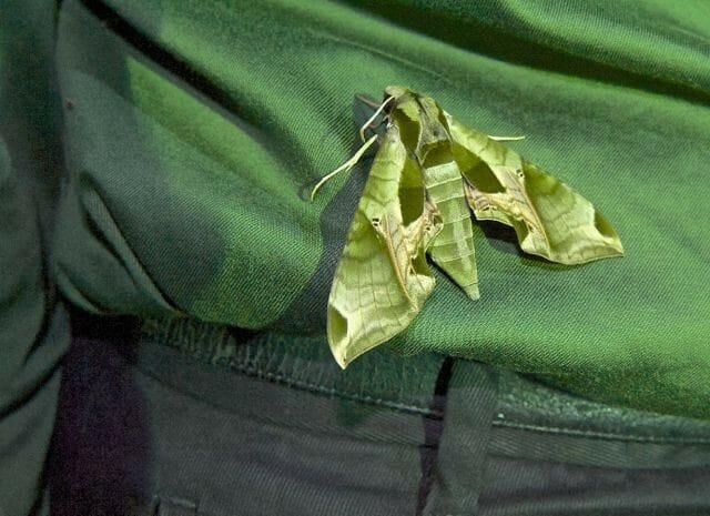 pandorus sphinx moth on shirt
