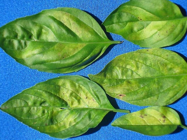 Basil-DM-leaves-top-08_6275BG