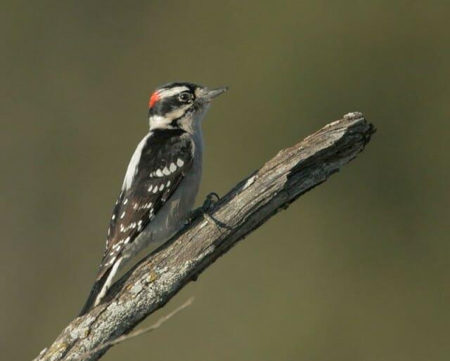 Downy Woodpecker Tom Grey