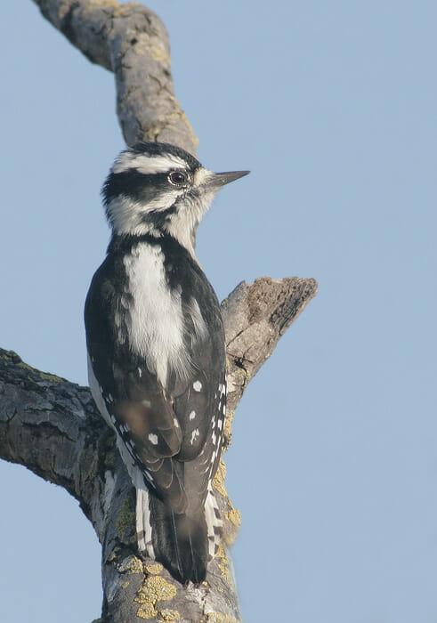 Downy Woodpecker female Tom Grey