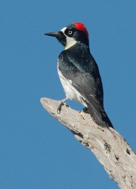 Male Acorn Woodpecker © Tom Grey
