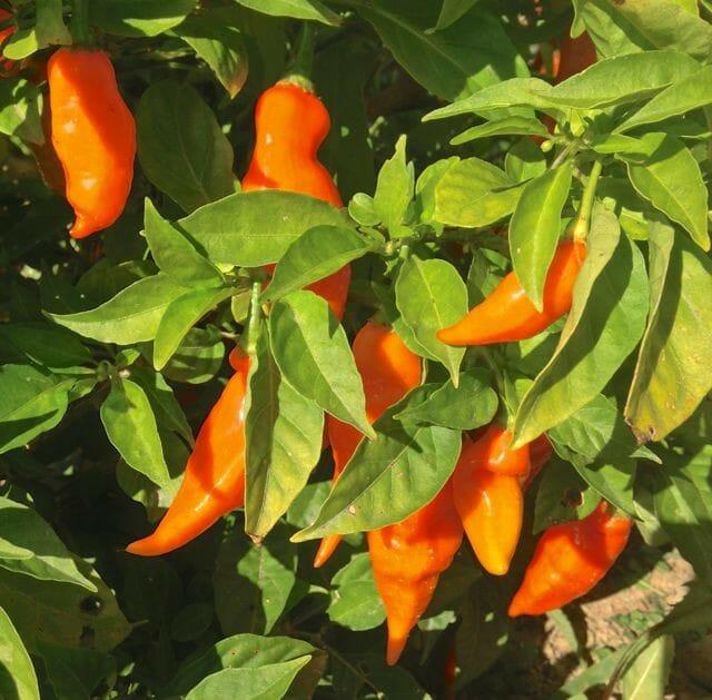 fruition habanada plants
