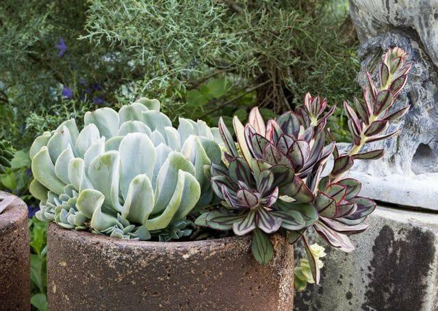 Echeveria rosea & Echeveria nodulosa