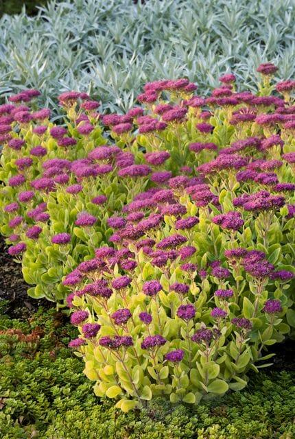 Sedum spectabile 'Neon' in the Oregon Garden Silverton OR