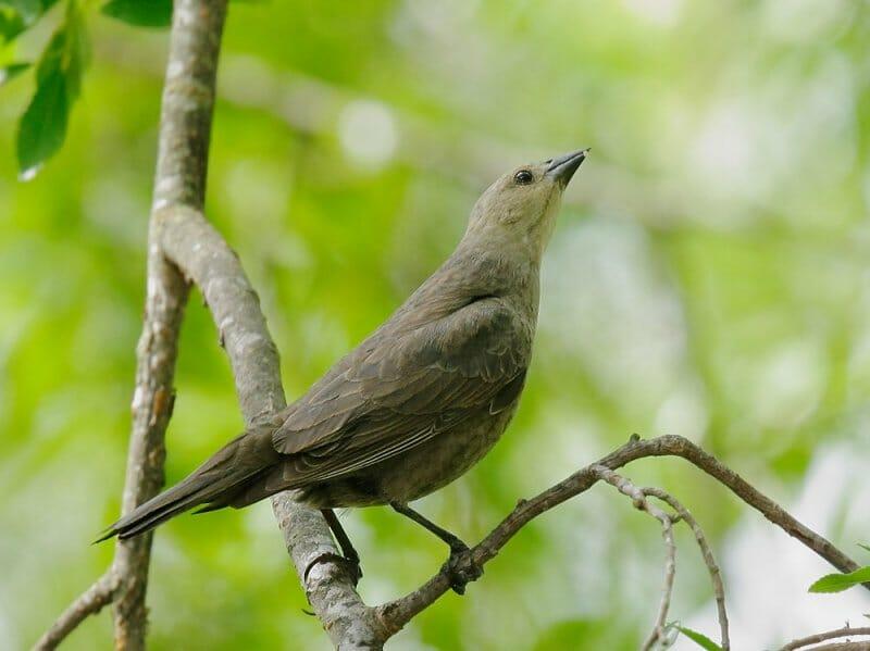 Brown-headed-Cowbird-female-©-Tom-Grey