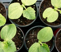how to grow squash, cucumbers and other cucurbits, with tom stearns