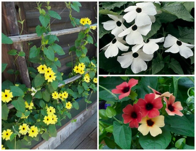 thunbergia select seeds