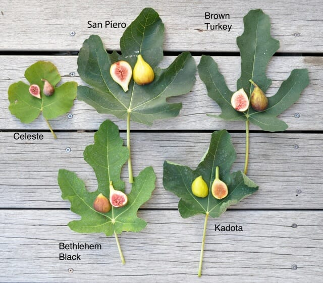 How To Grow Figs With Lee Reich A Way To Garden
