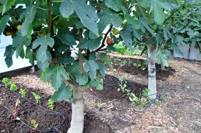 Ficus, fig greenhouse 08.22.11