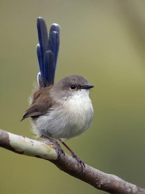 Wamboin, NSW, Australia. Male, in eclipse plumage.