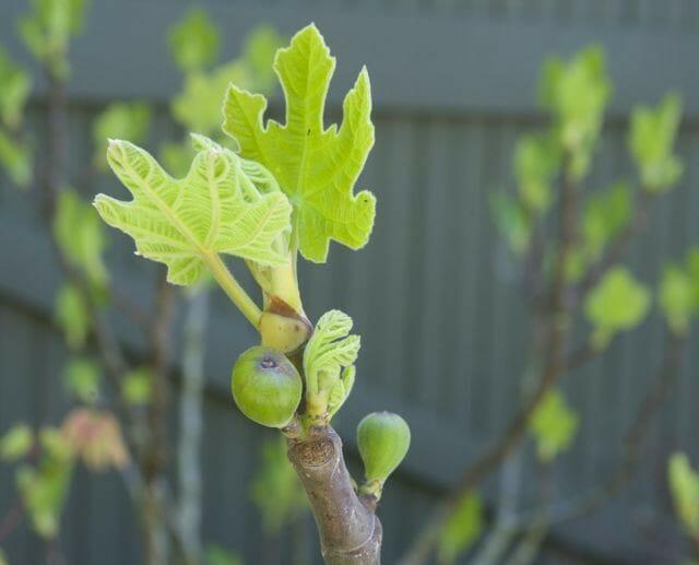 breba crop on fig